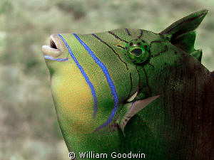Close focus wide-angle of juvenile Queen Triggerfish look... by William Goodwin 